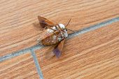 Upside Down Bed Bug With Wings Opened On The Floor poster