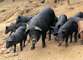 picture of mud pack  - Pigs - JPG