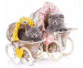 Scottish Straight And Scottish Fold Kittens. Funny, Furry Kittens Look Closely poster