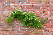 Scrub Lone Bindweed Growing On A Red Brick Wall. Bindweed Trembling In The Wind Against A Background poster