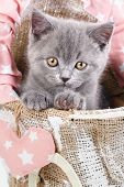 Scottish Straight Kitten. Gray Cat Sits Sideways. Funny, Furry Kitten Look Closely poster