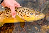 pic of brook trout  - Releasing a Brown Trout in a crystal clear river - JPG