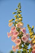 image of digitalis  - Spike of bell - JPG
