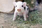 One Week Old Baby Piglet