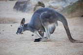 Close Up Portrait Famale Kangaroo With Cute Joey Hiding Inside The Pouch. Australia. poster