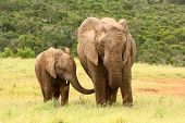 Mother And Baby African Elephant, South Africa.