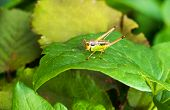 Colorful Bush-cricket
