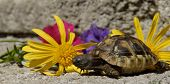 Little Turtle And Flowers