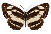 Butterfly Species Neptis Hylas