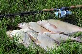 Fishing Catch - Bream