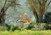 Three Maasai Giraffes