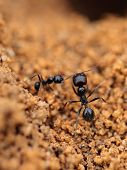 stock photo of formica  - Soldier ant formica in anthill - JPG