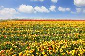 The magnificent garden buttercups. Boundless kibbutz field under yellow flowers.
