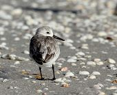 Sanderling On A Beach