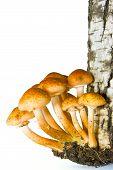 Agaric Honeys On The Stumb