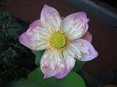 Lotus Flower Against Dark Background
