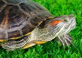 red ear turtle on grass