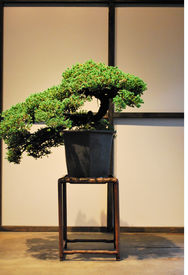 image of bonsai tree  - Ancient Japanese Bonsai Pine Tree in Front of Traditional Paper Screen
