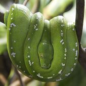 foto of green tree python  - A green tree python hanging on a branch - JPG