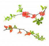 red flowering quince isolated on white