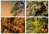 stock photo of marijuana leaf  - Beautiful collage or Collection of four strains of marijuana - JPG