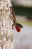 A Male Brown Anole (Anolis sagrei) lizard displaying his throat fan as he clings to the trunk of a palm tree.