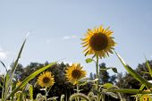 A low angle view of a field of yellow sunflowers (Helianthus annuus) with a blue sky background.