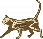 picture of animal x-ray  - skeleton of cat section with bones x ray - JPG