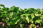image of rutabaga  - Sugar beets with green beetroot leave growing in field  - JPG