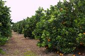 oranges ripening on the trees of an orchard