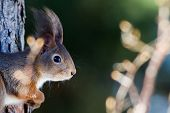The Red Squirrel (Sciurus vulgaris) In Profile