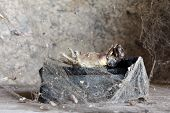 stock photo of corpses  - Scary decomposed corpse of animal behind spiderweb curtain in its burial tomb - JPG