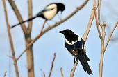 magpies (pica rustica) on the branch