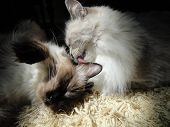 stock photo of rag-doll  - Two rag doll cats - JPG