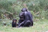 stock photo of chimp  - Chimp family play in grassy zoo habitat - JPG