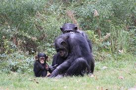 image of chimp  - Chimp family play in grassy zoo habitat - JPG
