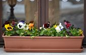 stock photo of viola  - Viola in pot on a window sill in winter - JPG