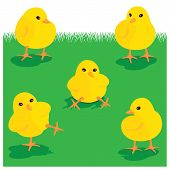 Chicks On Grass