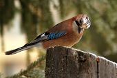 Eurasian Jay Looking At Seeds On Stump
