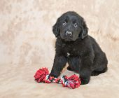 stock photo of newfoundland puppy  - A cute Newfoundland Puppy sitting with a dog toy with copy space - JPG
