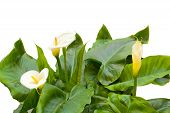 stock photo of arum lily  - White Calla lilies with leaf isolated on a white background - JPG