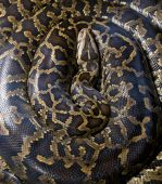 stock photo of burmese pythons  - huge burmese python curled up asleep - JPG