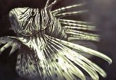 Illustration made with a digital tablet scorpion fish dangerous