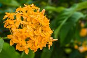 Blooming Orange Ixora Flowers For Nature Background (ixora Spp.)