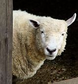 picture of quadruped  - One sheep looking at us - JPG