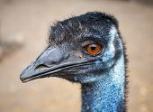 Closeup Profile Portrait Of Ostrich With Orange Eyes