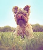 a cute yorkshire terrier sitting in the grass licking his mouth toned with a retro vintage instagram filter