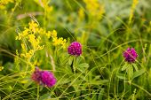 picture of red clover  - the red flowers of a clover  - JPG