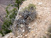 Wild Treelike Thyme Growing On The Rock In Grand Canyon