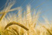 Ripe Wheat 2